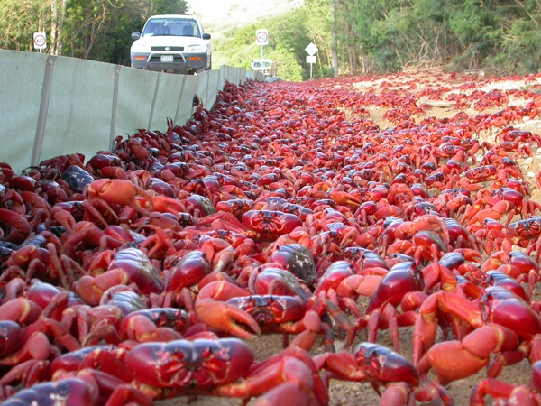 aus- crabs on crabs